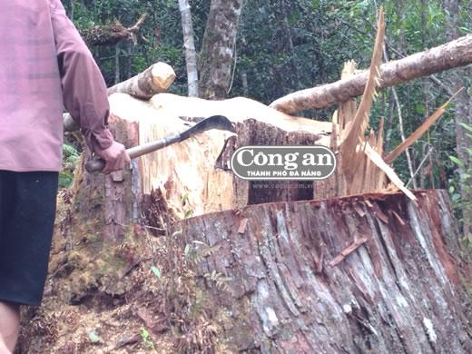Mục sở thị khu rừng Pơ mu bị lâm tặc tàn sát