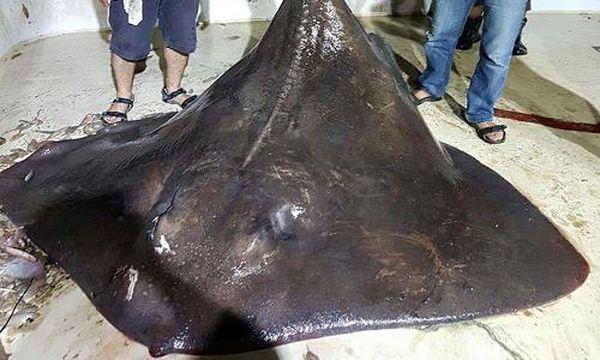 Cá đuối lớn nhất thế giới đẻ non vì sợ người