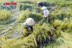Không kịp 'chạy lũ', nhà nông Hà Tĩnh nẫu ruột nhìn lúa nảy mầm