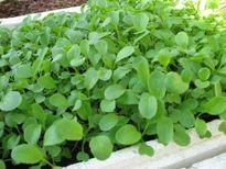 Kỹ thuật trồng rau cải ngọt an toàn, xanh tốt