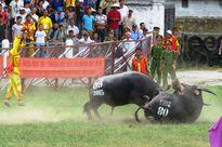 Clip: Những trận đấu nảy lửa tại lễ hội chọi trâu Đồ Sơn