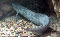 6 loài cá có thể đi lại ở trên cạn