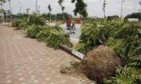 Cây lát hoa trồng thay thế cây mỡ ở Hà Nội là cây gì?