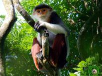Các loài voọc quý hiếm ở Việt Nam