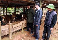 Mô hình chăn nuôi gia súc hàng hóa cho năng suất cao tại Hà Giang