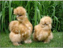 Ngắm những chú gà con lông xù giá cả triệu đồng/cặp