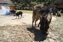 'Dê sư tử' gây xôn xao ở Lâm Đồng