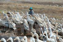 Phát hiện ổ dịch cúm H5N1 ở một hộ chăn nuôi ở Sóc Trăng