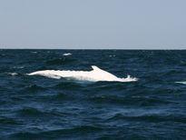 [video] Cá voi gù bạch tạng siêu hiếm bất ngờ xuất hiện