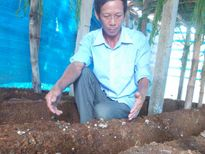 Tái sử dụng mùn cưa trồng nấm sò để