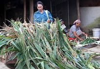 Sơn La loay hoay sắp xếp lại nông, lâm trường - Bài cuối