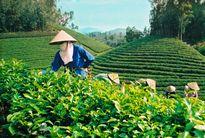 Chè Thái Nguyên - Những giá trị văn hóa và du lịch