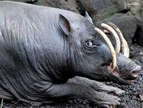Tận mục loài lợn kỳ lạ mọc sừng ở sống mũi