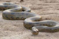 Điểm mặt những loài rắn nguy hiểm nhất thế giới