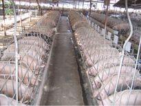 Bắc Giang: Mô hình sản xuất trang trại theo hướng an toàn thực phẩm đạt hiệu kinh tế quả cao