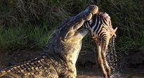 Minh chứng về hàm răng khủng khiếp của cá sấu sông Nile
