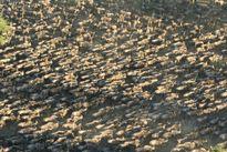Thảm cảnh linh dương đầu bò chết hàng loạt ở châu Phi