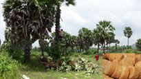 Nguy cơ mất sản phẩm đường thốt nốt vì Trung Quốc thu mua cây