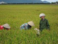 3 giảm 3 tăng hiệu quả với cây lúa SRI