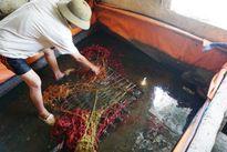 'Tẩm bổ' lươn bằng thuốc tránh thai, 'tắm trắng' mực bằng hóa chất