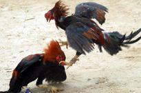 Triệt phá trường gà, bắt giữ hàng chục con bạc