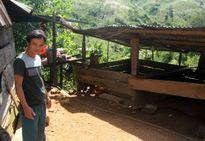 Quảng Nam: Trưởng thôn treo cổ chết vì lợn đẻ toàn con đực