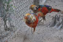 """""""Giáp chim"""" tiết lộ bí quyết nuôi trĩ bảy màu sinh sản"""