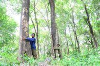Khó giữ cây gỗ quý