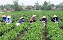 La Bằng: Vùng chè trên quê hương cách mạng