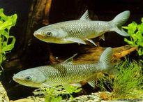 Cá trắm và ngộ độc mật cá trắm