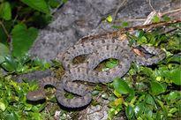 Những loài rắn độc nhất ở Việt Nam gây khiếp sợ