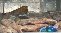 Rùng mình hình ảnh thịt chim rỉ dịch, lợn có cục hạch, cá thối