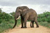 Những khám phá cực hấp dẫn về loài voi