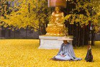 Hút hồn cây nghìn tuổi trút lá vàng đẹp như cảnh tiên
