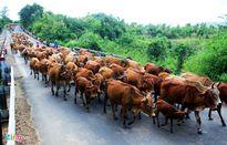 Đàn bò dàn hàng chặn ôtô trên quốc lộ