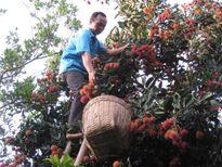 Diện tích vườn cây ăn trái ĐBSCL đạt chứng nhận GAP rất thấp