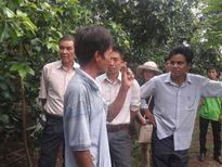 Đăk Lăk: Mô hình cây công nghiệp trồng xen cây cà phê cho năng suất cao