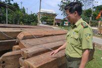 Bảo vệ rừng để lâm tặc ngang nhiên đốn hạ hơn 100 m3 gỗ quý
