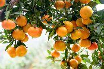 Thung lũng cam vàng rực tại Yên Bái