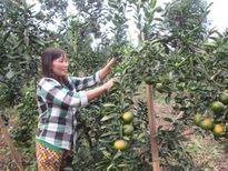 Vốn hội giúp dân có nhiều vườn cam sạch