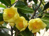 Lễ hội tôn vinh Trà hoa vàng - loài hoa quý hiếm 15 triệu/kg