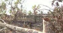 Hơn 300 người kéo nhau lên rừng đốt gốc, chặt cây
