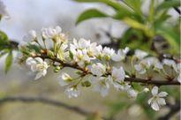 Gợi ý 5 điểm ngắm hoa mận đẹp ở vùng Tây Bắc