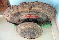 Nấm linh chi khổng lồ ở Nghệ An lên báo nước ngoài