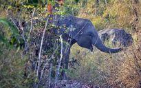 Liên tiếp phát hiện nhiều đàn voi rừng ở Đắk Lắk