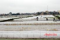 Nông dân chống rét bảo vệ mạ non