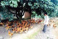 Nhật ký gà siêu sạch: Bí mật khó tin thời độc, bẩn