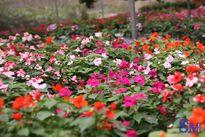Hoa, cây cảnh Văn Giang sẵn sàng đón Tết