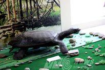 Cuộc vật lộn suốt đêm tóm 'rùa Hồ Gươm' khổng lồ ở Hòa Bình