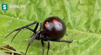 Góa phụ đen - Loài nhện tàn độc nhất thế giới